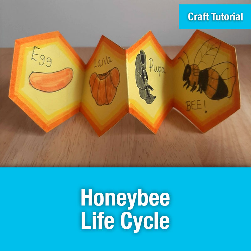 ETG Craft Tutorial | Honeybee Life Cycle