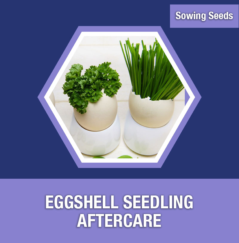 Sowing Seeds: Eggshell Seedling Aftercare