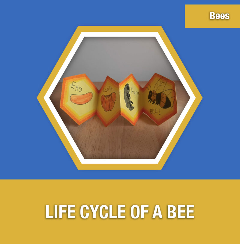 BEE-2B Life Cycle of a Bee | Image Preview