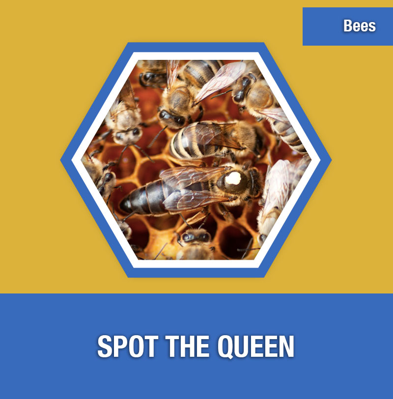 BEE-2C Spot the Queen | Image Preview